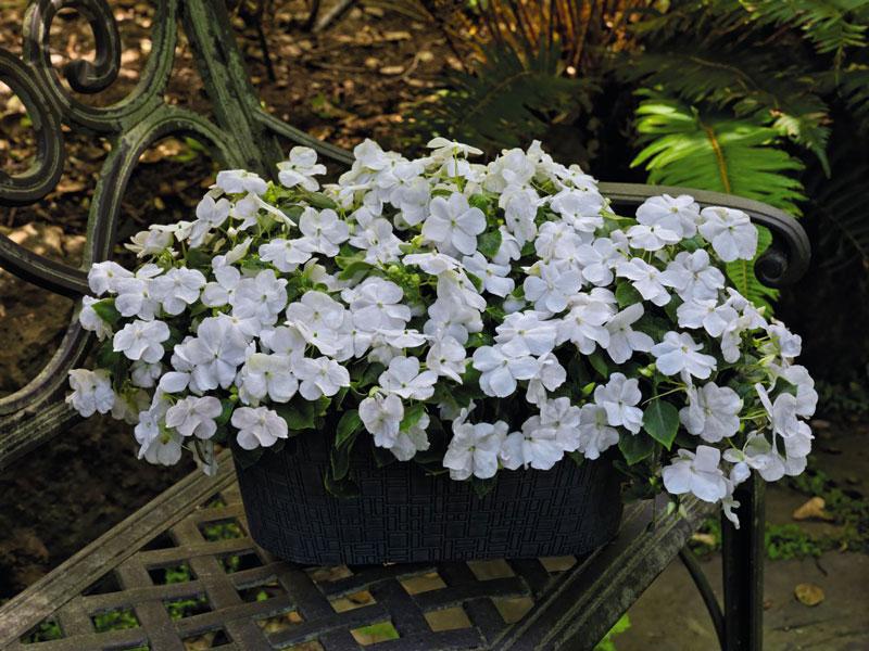 Hoa mai địa thảo đơn có 5 cánh hoa xòe rộng, phẳng. Còn hoa ngọc thảo kép có 2 lớp cánh và hình dáng hơi khum tròn trông rất giống hoa hồng.