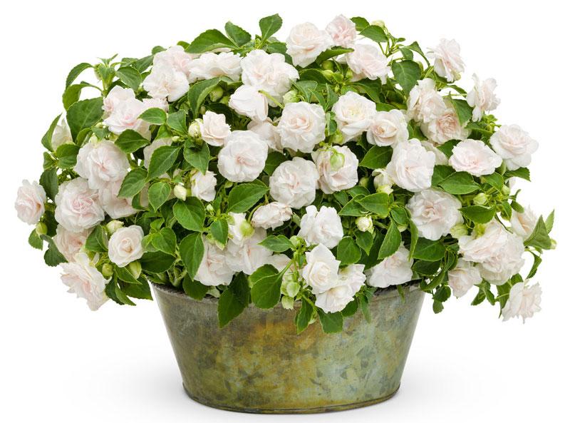 Còn hoa ngọc thảo kép có 2 lớp cánh và hình dáng hơi khum tròn trông rất giống hoa hồng.