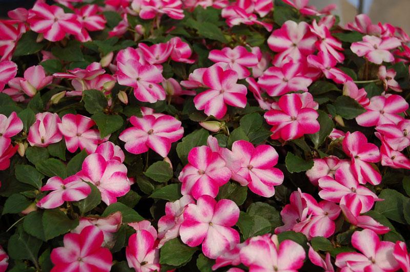 Hoa có màu sắc khá đa dạng từ tím, hồng, đỏ, cam, trắng…
