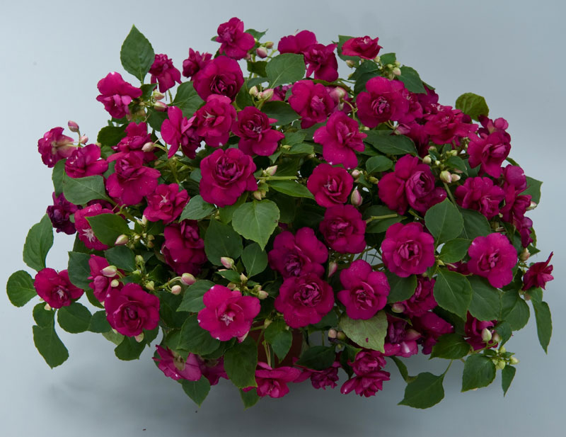 Hiện nay có cả giống hoa ngọc thảo đơn và kép.