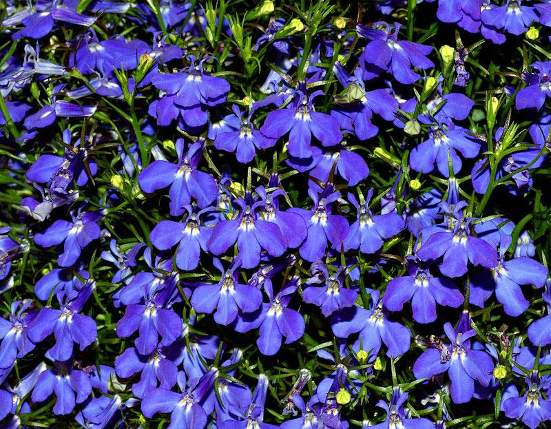 Loài hoa này có xuất xứ ở miền Nam châu Phi (từ Malawi và Namibia nam đến Nam Phi).