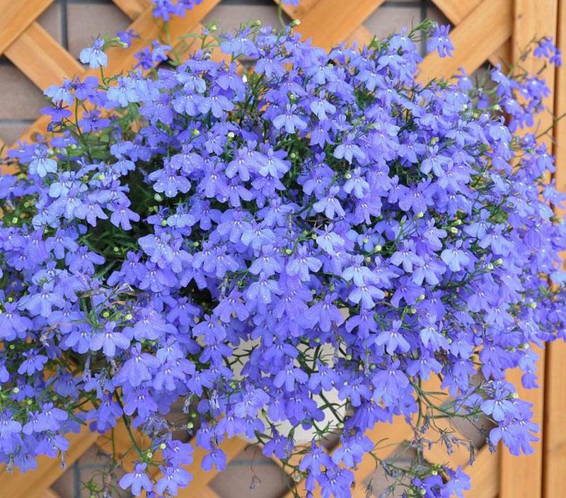 Nó là cây lâu năm ở vùng khí hậu cận nhiệt đới, nhưng thường được trồng như cây hàng năm ở những khu vực lạnh hơn.