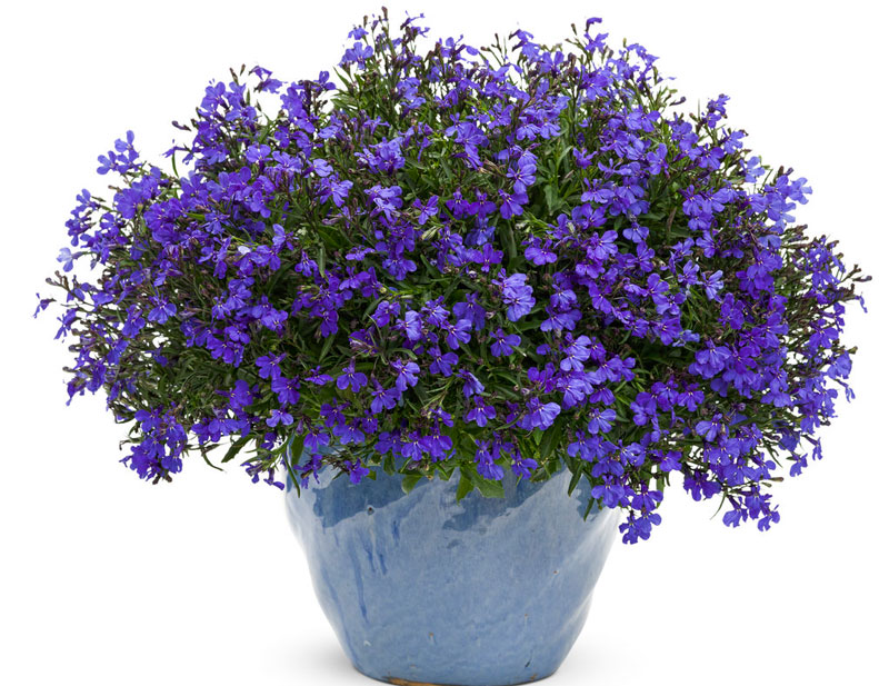 Hoa lỗ bình cảnh có màu sắc khá đa dạng từ xanh dương đậm, nhạt, đỏ, tím, hồng, trắng…