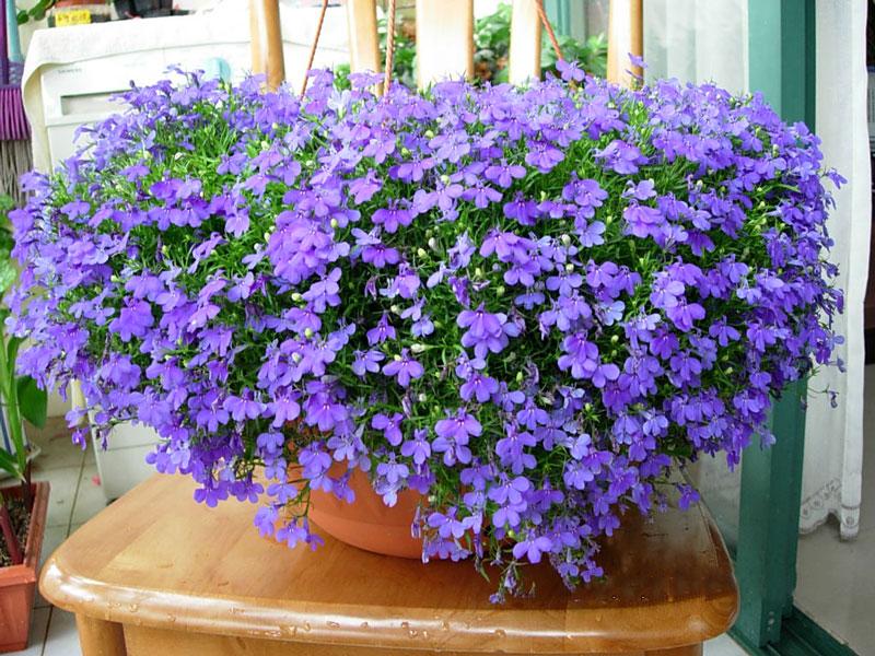 Hoa thường nở từ giữa mùa Xuân đến đầu mùa Thu.