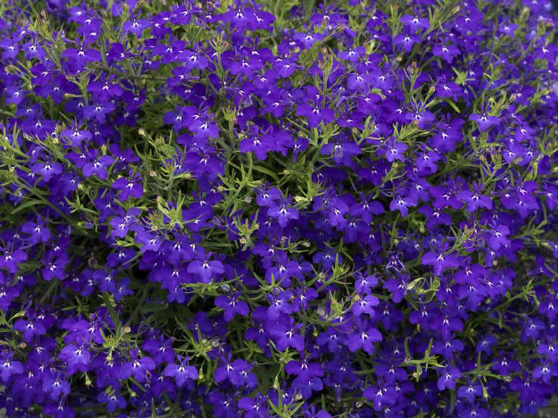 Hoa lỗ bình cảnh có danh pháp khoa học là Lobelia erinus.