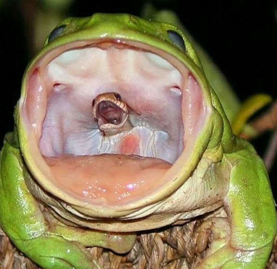 Khoảnh khắc đầu rắn há miệng ở trong miệng ếch xanh. Nguồn: Livescience