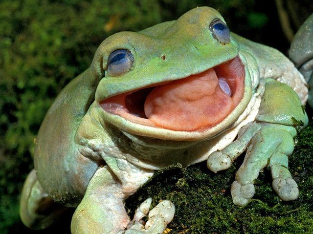 Ếch xanh cây được xem là loài ếch cực kỳ ăn tạp. Nguồn: Livescience