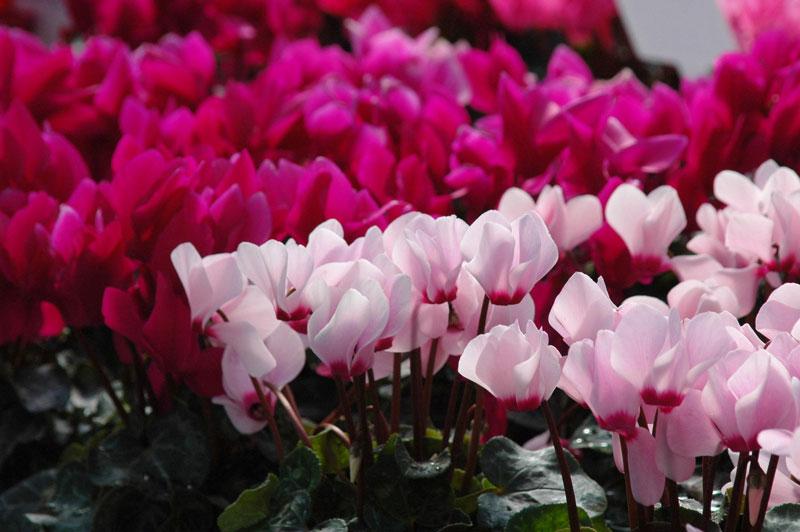 Loài hoa này mang ý nghĩa của sự may mắn.
