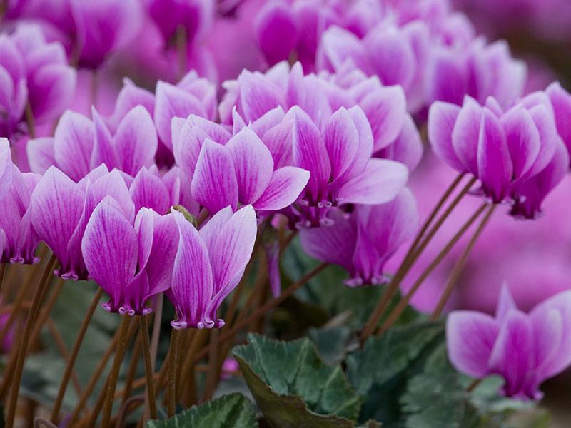 Chi này có khoảng 20 loài, thường được phân trong họ Anh thảo (Primulaceae), nhưng những năm gần đây nó lại được xếp vào họ Xay (Myrsinaceae).