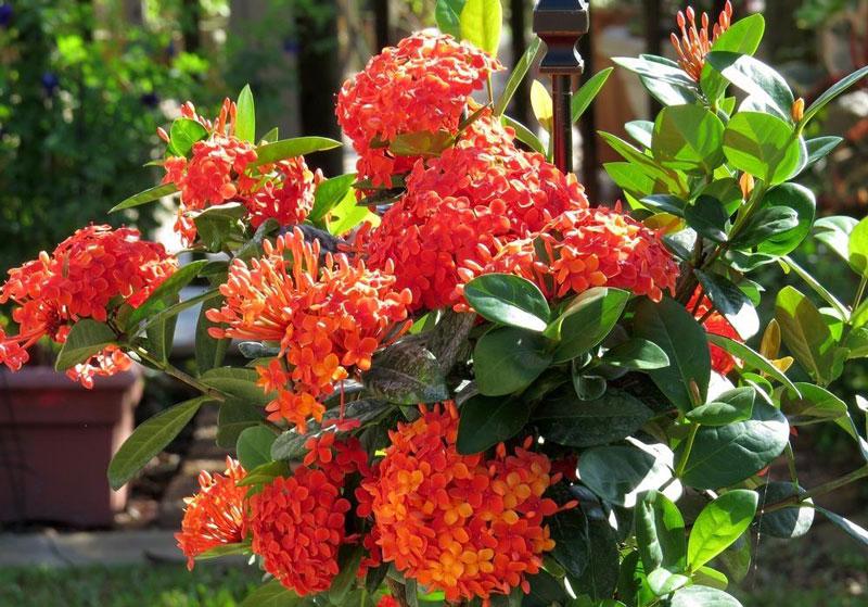 Cây hoa mẫu đơn ta nở hoa rực rỡ. Ảnh minh họa.