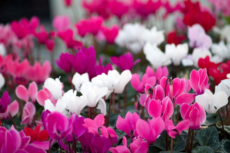 Hoa tiên khách lai mọc thành vòng xoắn, có từ 3-10 bông hoa, mỗi hoa mọc trên một cuống mảnh dẻ cao từ 3-12cm, với 5 cánh hoa hợp nhất.