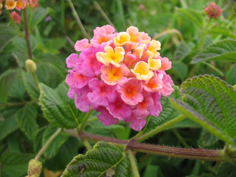 Cây hoa ngũ sắc có tên khoa học là Lantana camara.