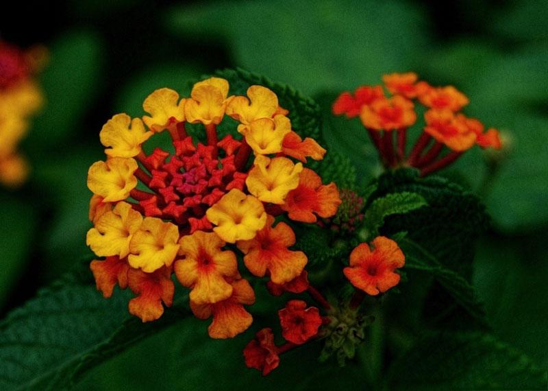 Cây hoa ngũ sắc được trồng làm cảnh ở nhiều nơi trên thế giới.