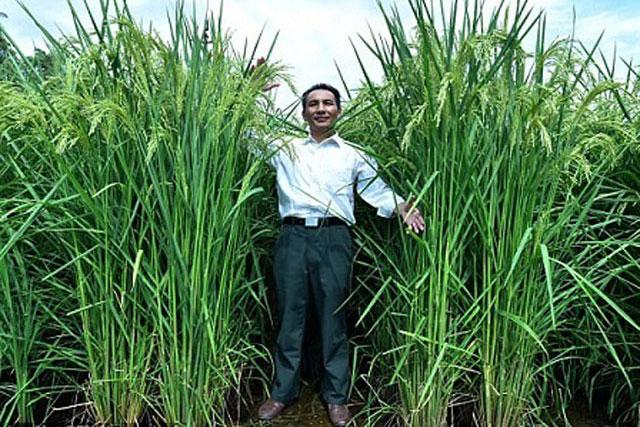 Một nhà nghiên cứu đứng bên cây lúa khổng lồ. Ảnh: Xinhua.