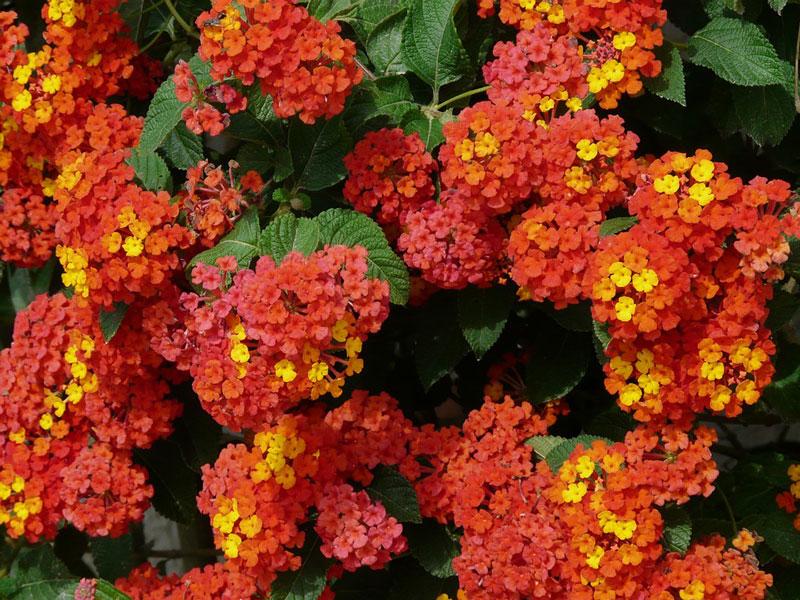 Đây là loài thực vật thuộc họ Cỏ roi ngựa (Verbenaceae).