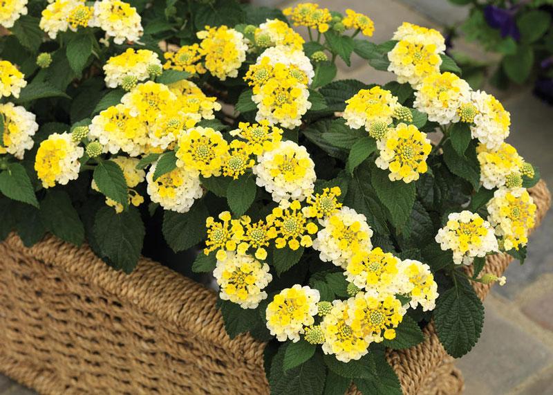 Hoa ngũ sắc là loài cây bụi thân gỗ, nhiều cành ngang, thân cây có nhiều lông.