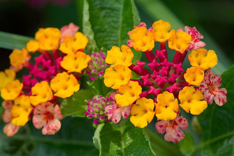 Hoa mọc thành bông dạng hình cầu, có nhiều màu sắc như trắng, vàng, vàng cam, tím, đỏ…