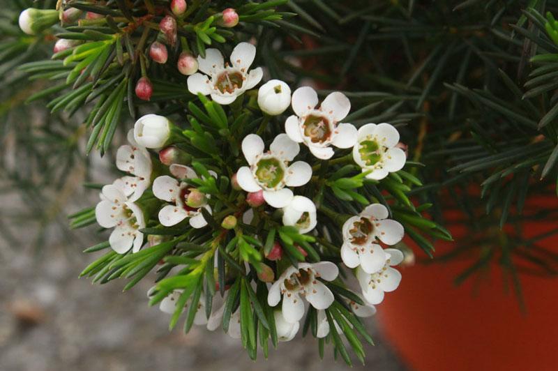 Hiện nay, nó được trồng nhiều ở Australia và Israel.