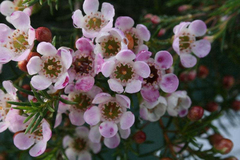 Hoa thanh liễu tượng tượng trưng cho sự kiên nhẫn, biểu tượng cho tình yêu và sự thành công bền vững.