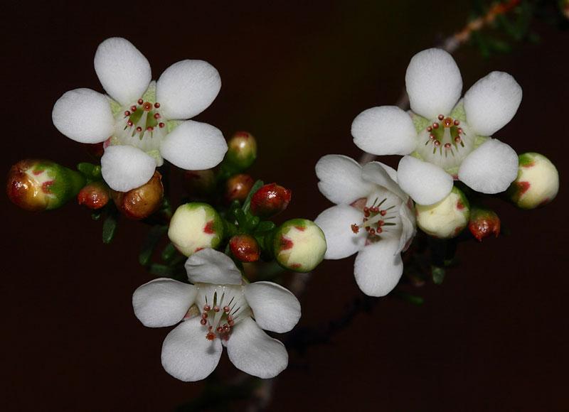 Hoa thường được dùng để trang trí cưới hỏi, làm hoa cưới…