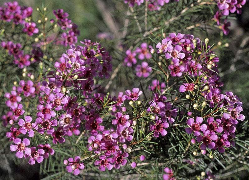 Lá và thân có chứa các tuyến dầu và thường tỏa ra một mùi thơm khi bị nghiền nát.