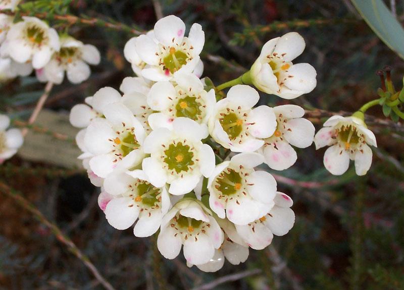 Hoa thanh liễu nhỏ, thường có 5 cánh.