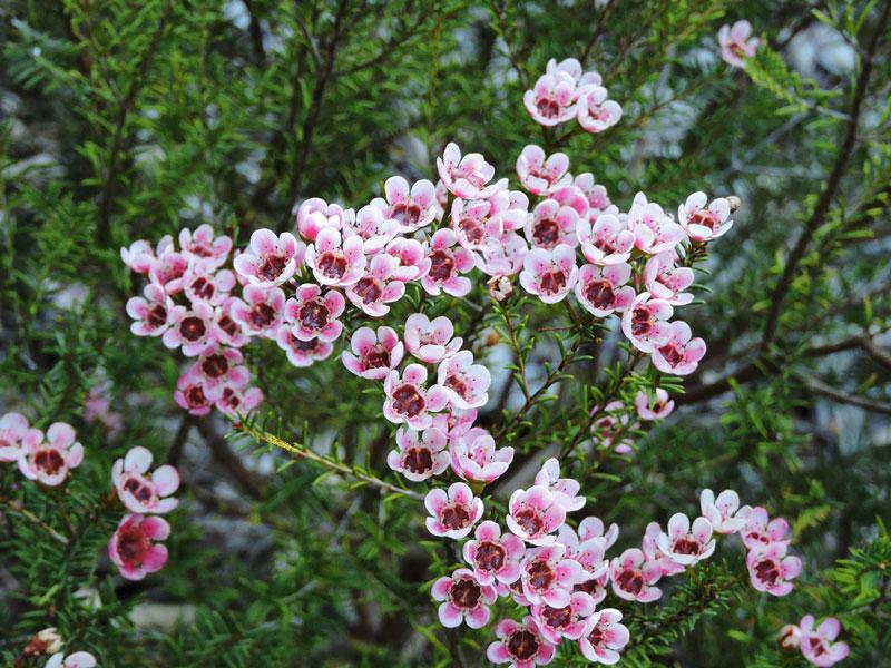 Loài hoa này có nguồn gốc từ Australia.