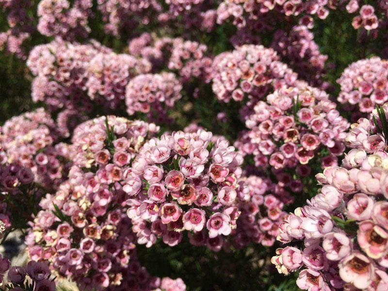 Hoa có màu trắng, hồng và hồng tím.