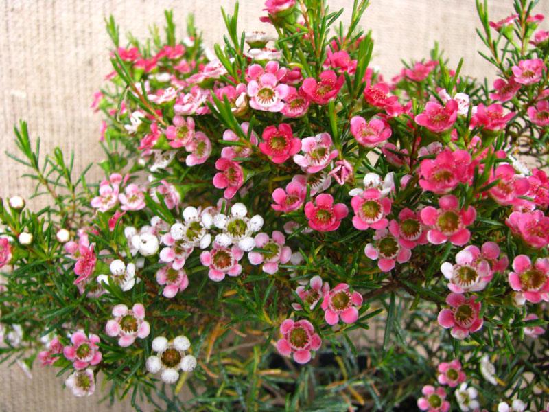 Hoa thường nở rộ vào mùa Hè và Thu.