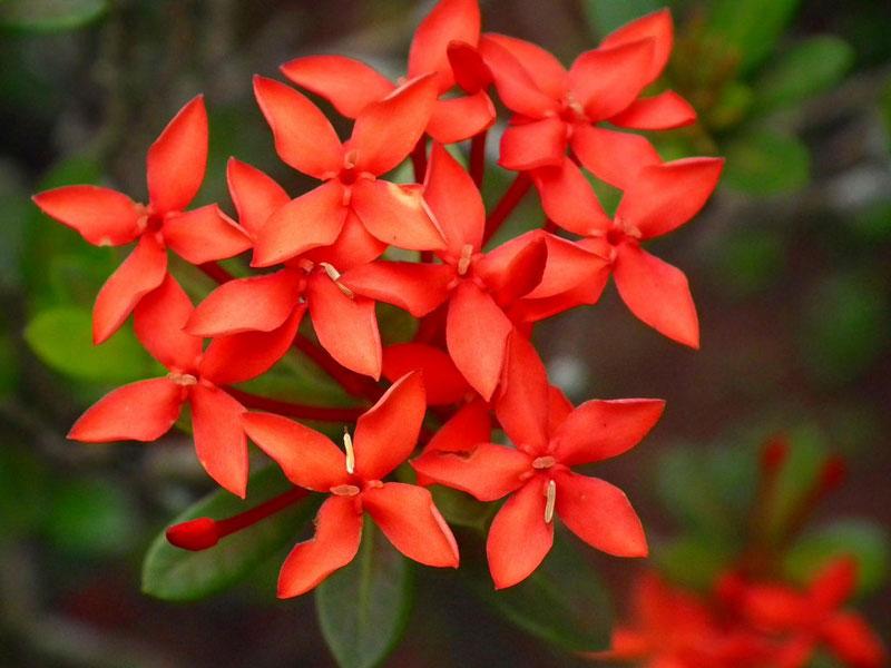 Hoa mẫu đơn đỏ tượng trưng cho sắc đẹp, sự giàu sang phú quý.