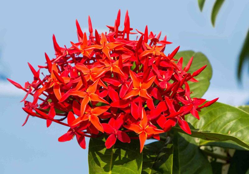 Cây nam mẫu đơn có thể trồng quanh năm, dễ chăm sóc nên rất được ưa chuộng.