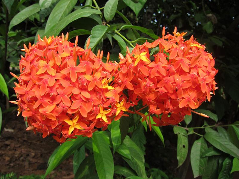 Ở Việt Nam, hoa mẫu đơn đỏ được trồng rộng rãi ở nhiều nơi. Nó vừa có thể trồng làm cảnh hoặc làm thuốc.