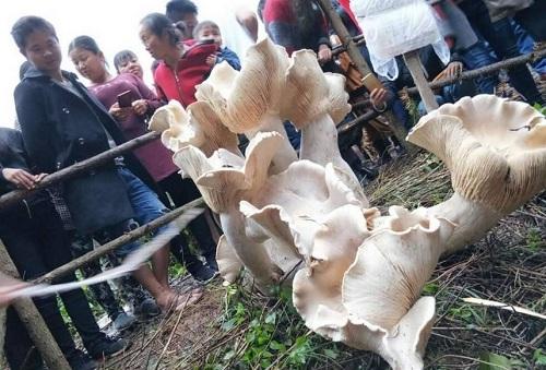 Cây nấm khổng lồ ở huyện Đằng Xung. Ảnh: Sina.