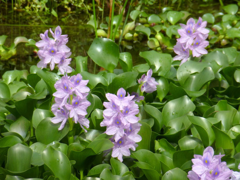 Hoa có vị hơi ngọt, có tác dụng lợi tiểu, giải độc, an thần, trừ phong nhiệt…