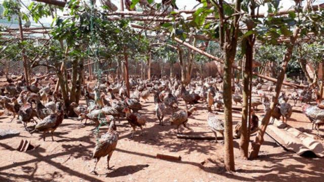 Đến nay anh Thiện đã có đàn chim trĩ 5.000 con - Ảnh: báo Vietnamnet.