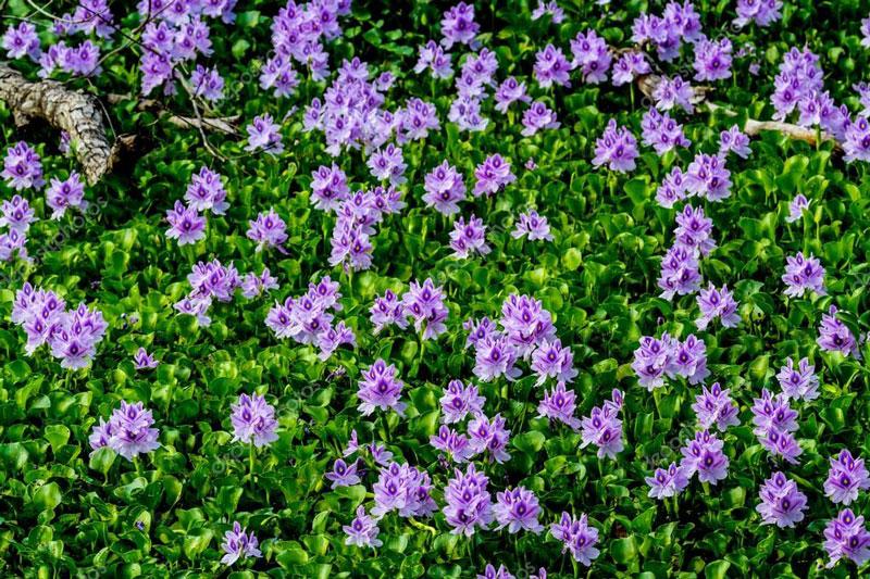 Nó là loài thực vật thuỷ sinh, thân thảo, thuộc về chi Eichhornia của họ Bèo tây (Pontederiaceae).