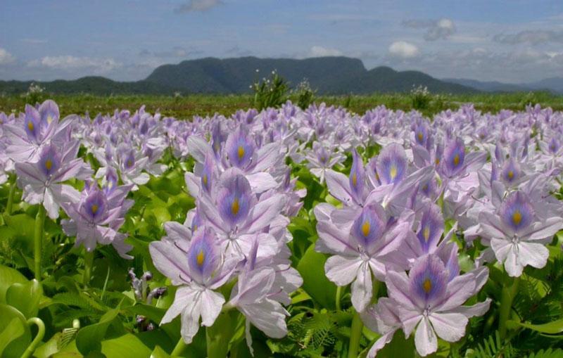 Cây bèo tây có nguồn gốc từ châu Nam Mỹ, du nhập Việt Nam khoảng năm 1905.