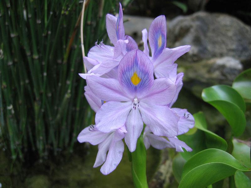 Hoa bèo tây thường có màu tím nhạt, điểm giữa là màu lam và vàng.