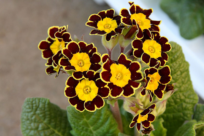 Hoa tai gấu có tên khoa học là Primula auricula.