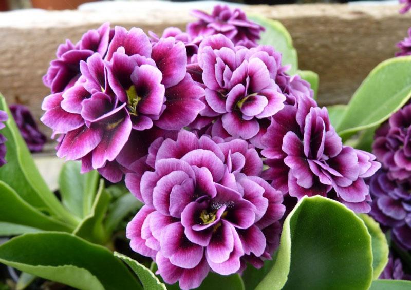 Đây là loài thực vật có hoa trong họ Anh thảo (Primulaceae).