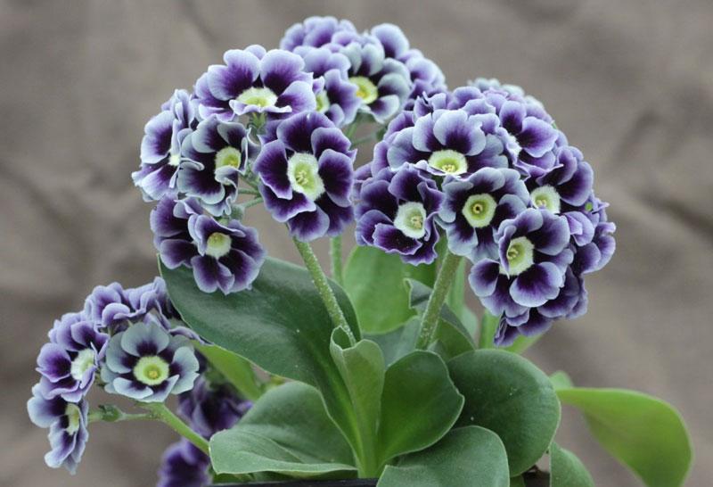 Hiện nay, nó được trồng rộng rãi ở nhiều nơi trên thế giới.