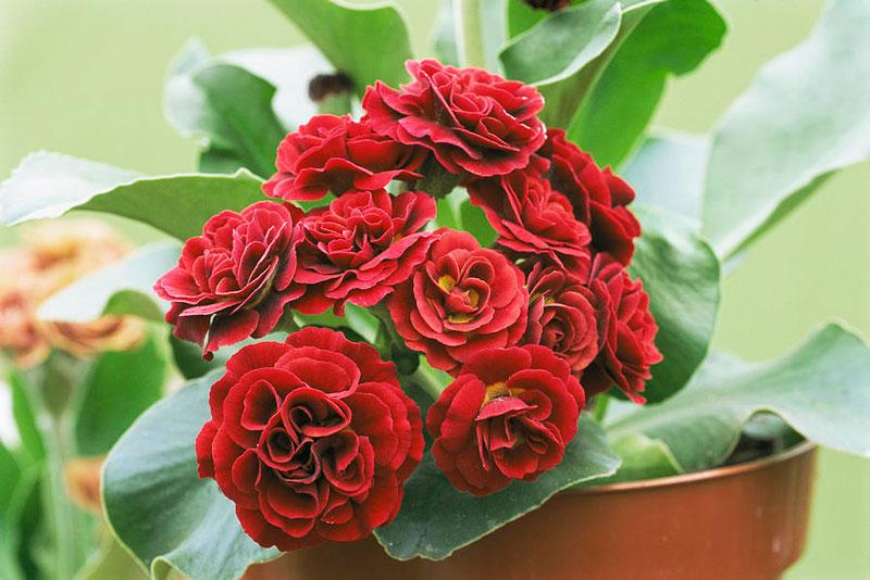 Hoa có màu sắc khá đa dạng từ vàng, đỏ, đỏ tím, cam…