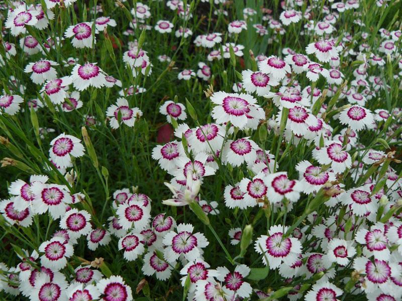 Hoa thưởng nở rải rác quanh năm, nhưng nở rộ vào tháng 5-9.