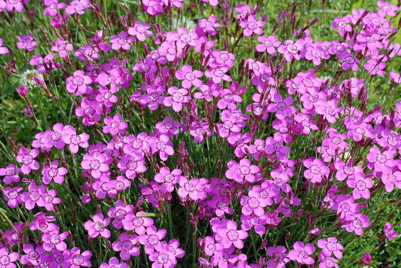 Cẩm chướng đơn mix có tên khoa học là Dianthus deltoides.
