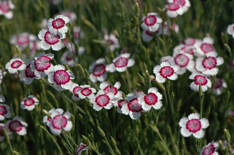 Đây là loài thực vật có hoa trong họ Cẩm chướng.
