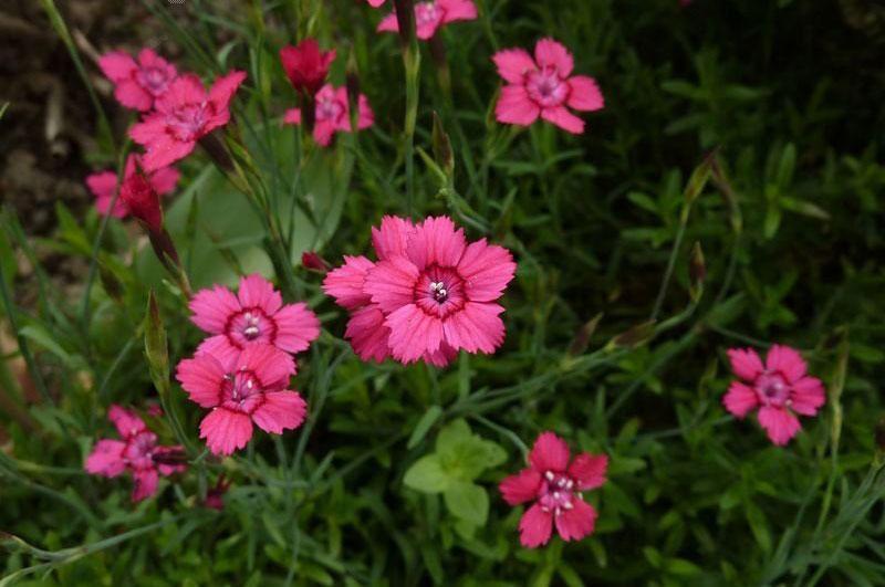 Hoa có màu sắc kha đa dạng từ trắng, hồng, đỏ, tím…