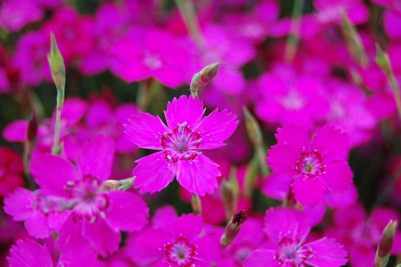Hoa cẩm chướng đơn mix thích hợp trồng làm cây sân vườn hoặc cây nội thất trang trí, trồng cắt cành cắm lọ…