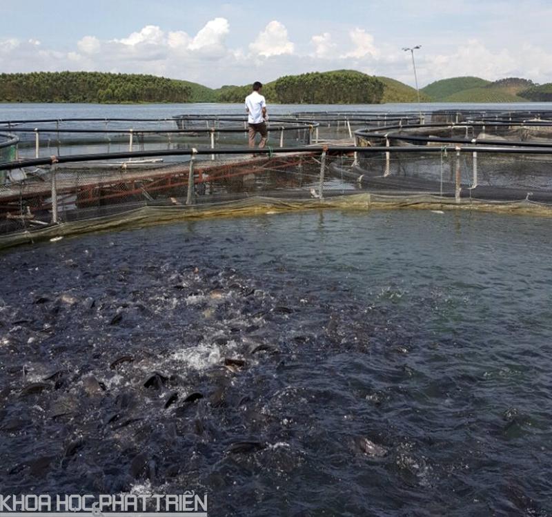 Cá trắm đen được nuôi tại hồ Thác Bà