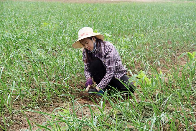 Trồng tỏi ở Quảng Bình. Ảnh: Đào Vân