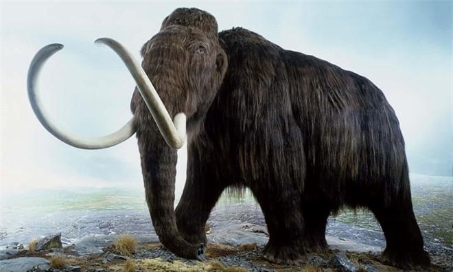 Nguyên nhân khiến voi ma mút đực biến mất hàng nghìn năm trước - 1